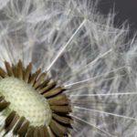 Pusteblume für das Praxis-Pusteblume-Gästebuch