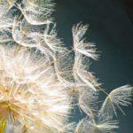 Nahaufname einer Pusteblume