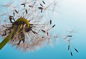 Eine Pusteblume im Wind