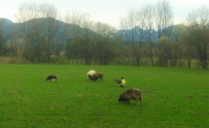 Die Schafe vom Pferdehof auf einer Wiese, im Hintergrund Bäume und Berge